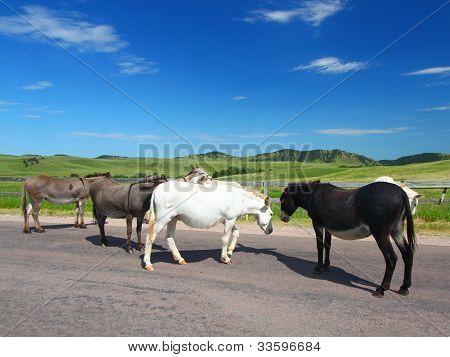 Custer State Park Burros