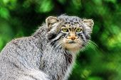 Portrait Felis Manul Wild Cat Animal Close Up. Otocolobus Manul Or Pallas Cat One Of Most Beautiful  poster