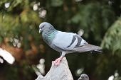 Front View Of The Face Of Rock Pigeon Face To Face.rock Pigeons Crowd Streets And Public Squares, Li poster