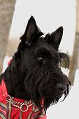 pic of scottie dog  - portrait of the scottish terrier dog in overalls in the scottish cell - JPG