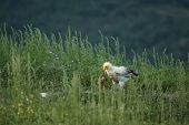 One Egyptian Vulture (neophron Percnopterus) Sitting In The Grass With The Green Background. Feeding poster