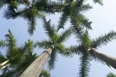 Palm Tree Foliage On A Blue Sunny Sky. Coconut Palms Against The Sky. Coconut Palm Green Leaves In P poster