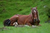 beautiful horse resting on mountain pasture in summer poster