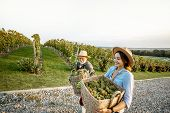 Senior Man With Young Woman Carrying Baskets Full Of Freshly Picked Up Wine Grapes On The Vineyard,  poster