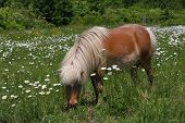 stock photo of oxen  - Miniature horse in sun in a field of ox - JPG