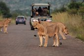 Lions Pride (panthera Leo) Staying On The Road In South Africa Safari. Three Lions Staying In Front  poster