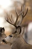 stock photo of mule deer  - big mule deer during the rutting season - JPG