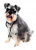 Schnauzer Dog Posing With Stethoscope