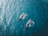 Aerial View Of Several Humpback Whales Diving In The Ocean With Blue Water And Blow. Showing White F poster