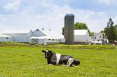 pic of recliner  - Black and White Cow Reclining on a Green Meadow by a farm Facility - JPG
