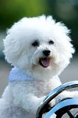 Bichon Frise Dog. Funny Dog Head Shots. Cute Smiling Pure Breed Bichon Dog.  poster