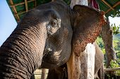 Huge Asian Elephant In The Camp.elephant Is An Wildlife Animal But They Are Very Cute. The Tourist C poster