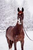 Portrait Of Beautiful Chestnut Mare In Snow Forest poster