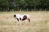 Horses, Stallion, Mare On A Farm, Paddock While Grazing poster