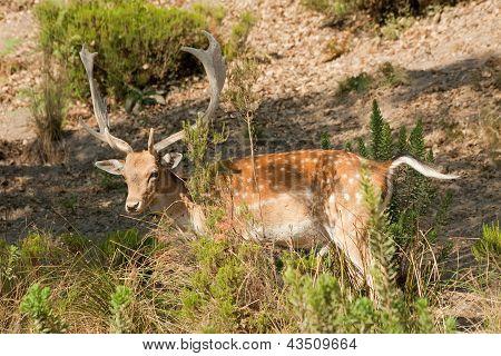Fallow Deer (cervus Dama)