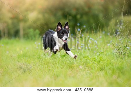 Border Collie Puppy Running Through A Meadow