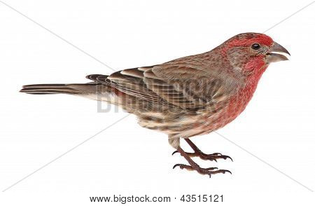 Isolated House Finch