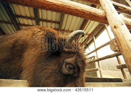 Bison Headshot