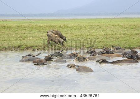Buffalo, Thailand.