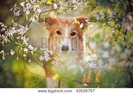 Retrato de cachorro Border Collie na Primavera