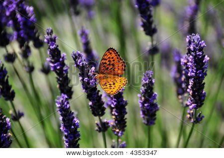 Butterfly On Lavendar
