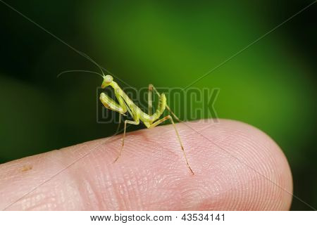 Praying Mantis Larvae