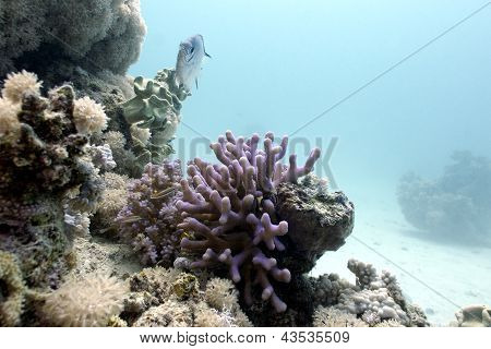 coral reef with lilac hood coral and exotic fish on the bottom of tropical sea