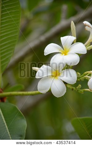 White Plumeria Spp After Raining