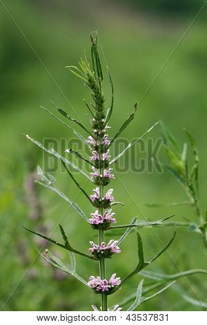 Labiatae Flowers Motherwort