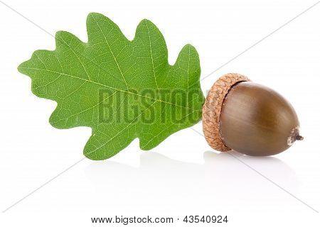 Acorn With Green Leaf