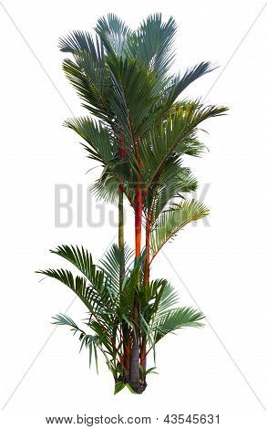 Red Sealing Wax Palm Tree