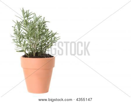 Rosemary Herb Planted In A Clay Pot