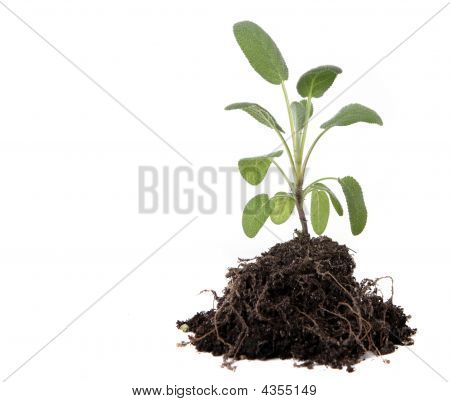 Green Sage Herb Planting With Dirt And Roots Exposed