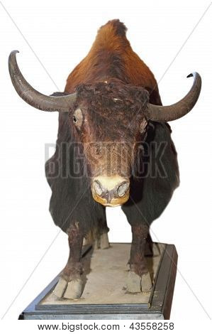 Taxidermy Mount Of A Big Bull