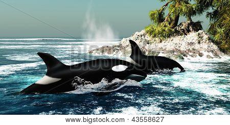 Orca Killer Whales