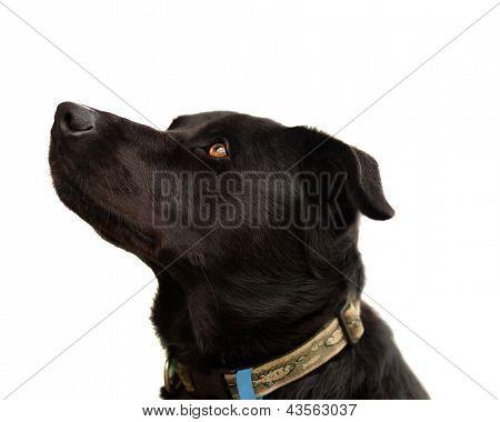 Perro Australian kelpie criado puro negro