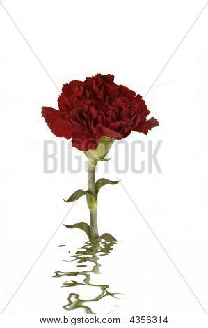 Reflective Carnation