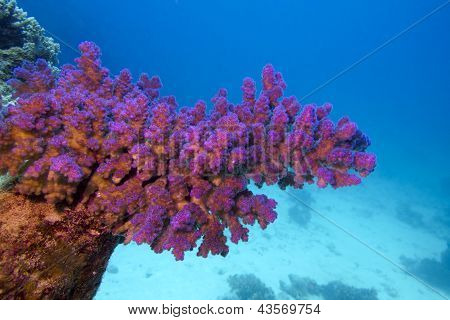 coral reef with pink pocillopora coral at the bottom of tropical sea