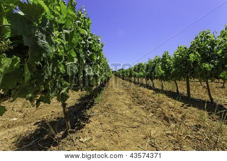 Rows Of Summer Grapevines