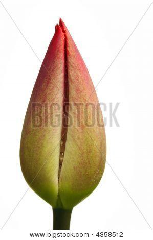 Bloom Of Tulip