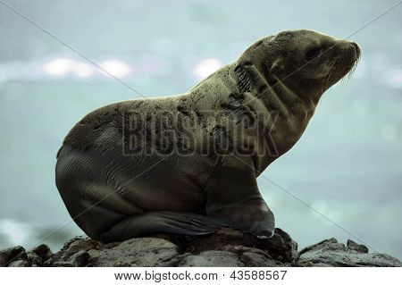 Sea Lion at black lava field on at Palos Verdes CA