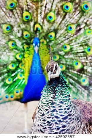 bright peacock with open tail and peacock chicken portrait