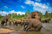 picture of indian elephant  - Elephant group in the river - JPG
