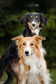 stock photo of collie  - two cute dog border collie huging together closeup - JPG
