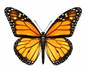 stock photo of monarch  - Monarch Butterfly with open wings in a top view as a flying migratory insect butterflies that represents summer and the beauty of nature - JPG