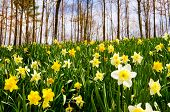 pic of early spring  - Field of daffodils blooming in early spring - JPG