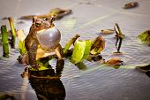 Bronze frog, Lithobates clamitans clamitans, making a mating call poster