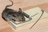 stock photo of dead mouse  - Dead field mouse in a mousetrap close - JPG