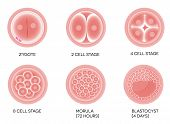 stock photo of zygote  - Fertilized egg development - JPG