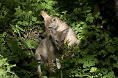 Coyote Puppies Sitting In The Woods